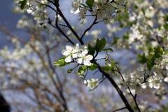 As flores brancas da ameixa florescem em um dia de mola no parque o Fotos de Stock Royalty Free