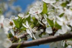 As flores brancas da cereja saltam flor com o c?u azul no fundo Fim acima do tiro art?stico fotos de stock