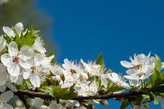 As flores brancas da cereja saltam flor com o c?u azul no fundo Fim acima do tiro art?stico foto de stock