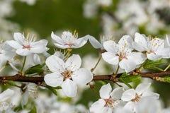 As flores brancas da cereja saltam flor Fim acima do tiro art?stico imagens de stock royalty free
