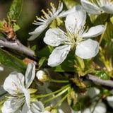 As flores brancas da cereja saltam flor Fim acima do tiro art?stico fotografia de stock