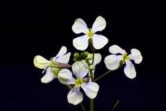 As flores brancas da primeira mola em uma haste verde com botões isola Imagens de Stock