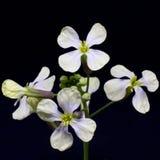 As flores brancas da primeira mola em uma haste verde com botões isola Foto de Stock Royalty Free