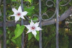 As flores brancas das clematites crescem a estrutura decorativa do metal próximo dentro Imagens de Stock