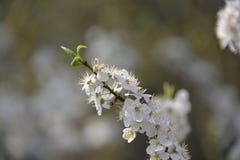 as flores brancas delicadas florescem belamente na primavera árvore foto de stock royalty free