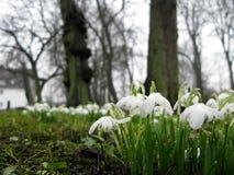 As flores brancas do açafrão penduram baixo na chuva de mola Fotos de Stock