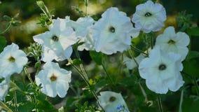 As flores brancas do petúnia fecham-se acima vídeos de arquivo