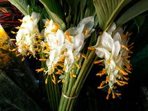 As flores brancas dos glob-vagabundos estão florescendo para a venda na loja de flores Fotografia de Stock Royalty Free