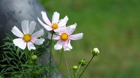As flores brancas e cor-de-rosa do cosmos flutuam do vento filme