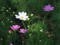 As flores brancas e roxas do cosmos no jardim foto de stock