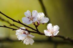 As flores brancas florescem em um ramo de uma árvore de fruto Foto de Stock Royalty Free