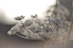 as flores brancas geladas efervescentes no sol geiam o tiro macro Fotografia de Stock Royalty Free