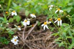 As flores brancas pequenas Fotos de Stock Royalty Free