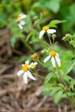 As flores brancas pequenas Fotografia de Stock Royalty Free