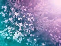 As flores brancas pequenas bonitas do diosma borraram o fundo Foto de Stock