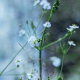 As flores brancas pequenas do plantago, ou Alisma em um fundo borrado azul Os raios do sol caem nas flores foto de stock royalty free