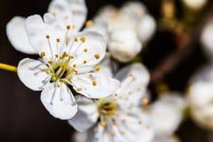 As flores brancas pequenas fecham-se acima de Spirea Vanhouttei Imagem de Stock
