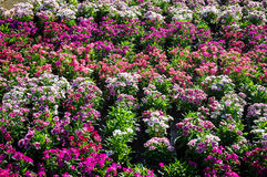As flores coloridas alinham em um parque na luz solar Imagens de Stock Royalty Free
