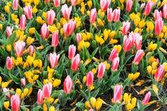 As flores coloridas do açafrão e das tulipas florescem no jardim da mola Imagem de Stock Royalty Free
