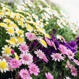 As flores coloridas do verão Foto de Stock Royalty Free