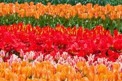 As flores coloridas na flor famosa estacionam Keukenhof em Lisse, Países Baixos fotos de stock