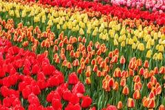 As flores coloridas na flor famosa estacionam Keukenhof em Lisse, Países Baixos imagens de stock royalty free
