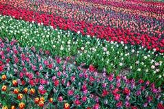 As flores coloridas na flor famosa estacionam Keukenhof em Lisse, Países Baixos fotos de stock royalty free