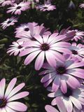As flores cor-de-rosa da margarida florescem imagens de stock royalty free