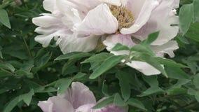 As flores cor-de-rosa da peônia são a cor ascendente próxima com folhas verdes, tiro no verão no tempo nebuloso Movimento lento p filme