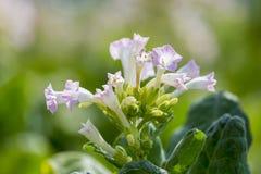 As flores cor-de-rosa da planta de cigarro brilham no final do sol da tarde Fotos de Stock Royalty Free