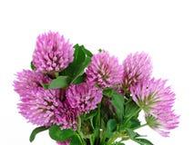 as flores cor-de-rosa do trevo fecham-se acima Fotografia de Stock