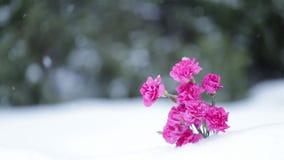 As flores cor-de-rosa e os flocos de neve que caem na neve ajardinam Movimento lento vídeos de arquivo