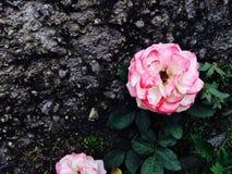 As flores cor-de-rosa estão florescendo na luz do dia imagens de stock royalty free