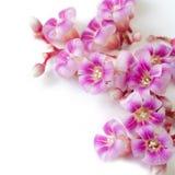 As flores cor-de-rosa fecham-se acima imagem de stock royalty free