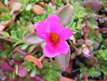 As flores cor-de-rosa, flor, tiro no selvagem, fotografaram em República Checa, cultivado em casa Imagens de Stock