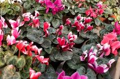 As flores cor-de-rosa florescem em fevereiro, pronto para o dia do ` s das mulheres do 8 de março em uma estufa ensolarada Fotografia de Stock Royalty Free