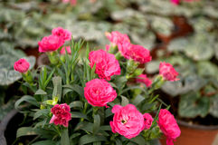 As flores cor-de-rosa florescem em fevereiro, pronto para o dia do ` s das mulheres do 8 de março em uma estufa ensolarada Imagem de Stock