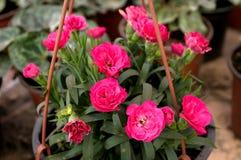 As flores cor-de-rosa florescem em fevereiro, pronto para o dia do ` s das mulheres do 8 de março em uma estufa ensolarada Fotos de Stock