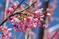 As flores cor-de-rosa lindos da mola estão começando florescer em um dia de mola morno e ensolarado fotos de stock