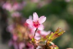 As flores cor-de-rosa lindos da mola estão começando florescer em um dia de mola morno e ensolarado imagens de stock