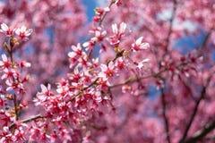 As flores cor-de-rosa lindos da mola estão começando florescer em um dia de mola morno e ensolarado fotografia de stock