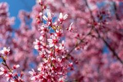 As flores cor-de-rosa lindos da mola estão começando florescer em um dia de mola morno e ensolarado fotografia de stock royalty free