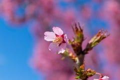 As flores cor-de-rosa lindos da mola estão começando florescer em um dia de mola morno e ensolarado imagens de stock royalty free