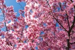 As flores cor-de-rosa lindos da mola estão começando florescer em um dia de mola morno e ensolarado imagem de stock royalty free