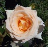 As flores, cores, aumentaram, colorido, creme, planta, macro, imagem, branco, close up, rosa, fundos, natureza, frescor, verde, p foto de stock