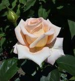 As flores, cores, aumentaram, colorido, creme, planta, macro, imagem, branco, close up, rosa, fundos, natureza, frescor, verde, p imagens de stock royalty free
