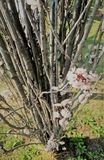As flores da árvore de cereja durante a mola fotos de stock royalty free