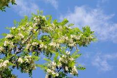 As flores da acácia Imagem de Stock Royalty Free