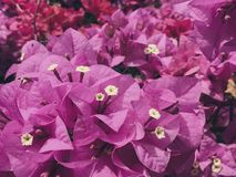 As flores da buganvília do rosa durante o inverno Fotografia de Stock Royalty Free