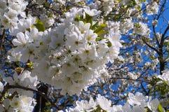As flores da cereja fecham-se acima Foto de Stock Royalty Free